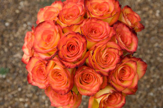 high & magic Roses-- Close Up
