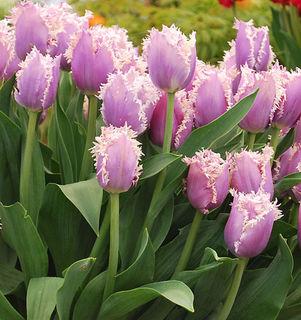 Cummins fringe tulip