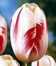Sorbet tulip